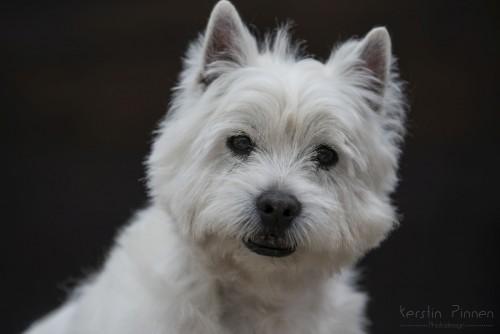 Westhighland Terrier Vladi