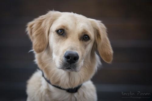 Labrador Golden Retriever Mix Emma